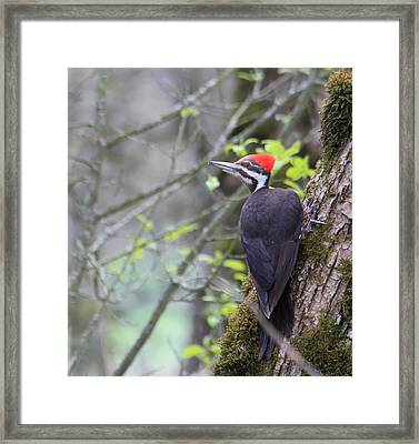 Lady Pileated Woodpecker Framed Print