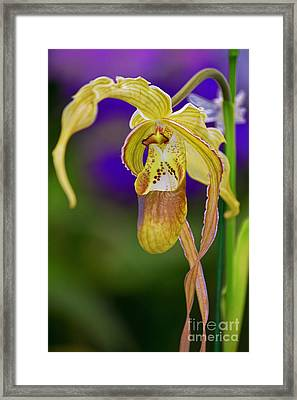 Lady Slipper Orchid Framed Print