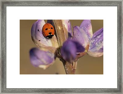 Ladybird Beetle On Lupine Flowers Framed Print