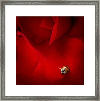 Ladybird In Rose Framed Print by Peta Thames