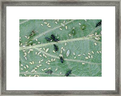 Ladybird Larva Feeding On Aphids Framed Print by Dr Jeremy Burgess/science Photo Library
