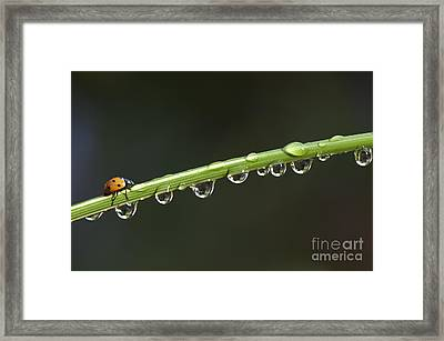 Ladybird On Grass Stem Framed Print by Tim Gainey