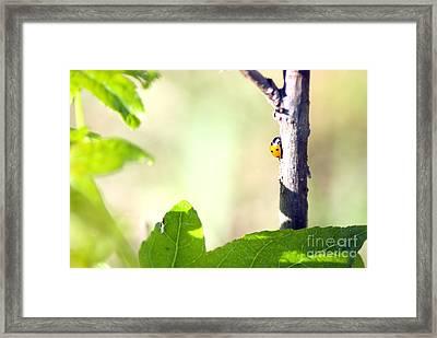 Ladybug 1.2777 Framed Print by Stephen Parker