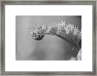 Ladybug And Goldenrod Framed Print