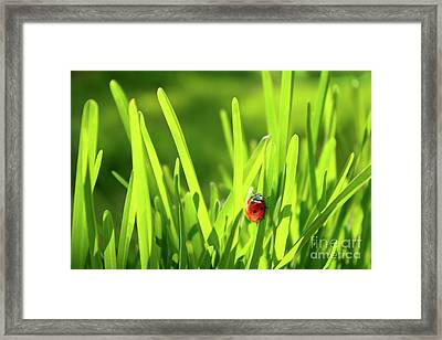 Ladybug In Grass Framed Print by Carlos Caetano