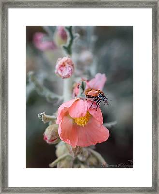 Ladybug On A Globemallow Framed Print