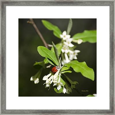 Ladybug On Autumn Olive Square Framed Print by Christina Rollo