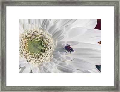 Ladybug On Daisy Petal Framed Print