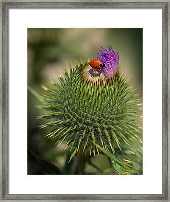 Ladybug On Thistle Framed Print by Janis Knight