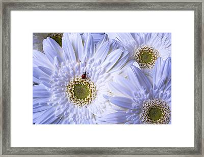 Ladybug On White Daisy Framed Print by Garry Gay