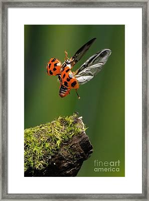 Ladybug Taking Off Framed Print by Scott Linstead