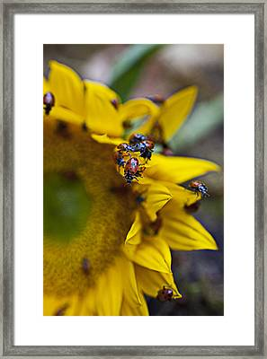 Ladybugs Close Up Framed Print by Garry Gay