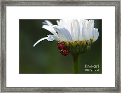 Ladybugs On Shasta Daisy Framed Print