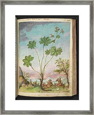 Lady's Mantle (alchemilla Sp.) Framed Print