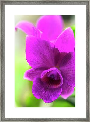 Laeliocattleya Orchid Framed Print by Maria Mosolova