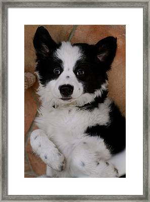 Laid Back Border Collie Framed Print