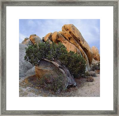 Laid Back Juniper Cropped Version Framed Print