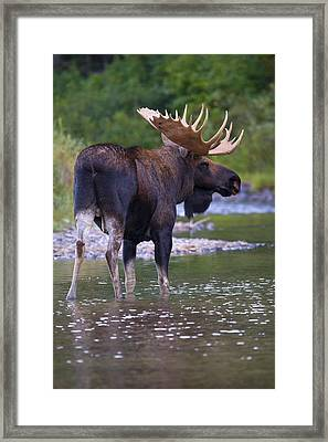 Lake Bull Framed Print by Aaron Whittemore