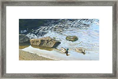 Mallard - Drake And Hen Framed Print