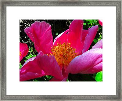 Lake Tahoe Peony Framed Print by Wendy Clem