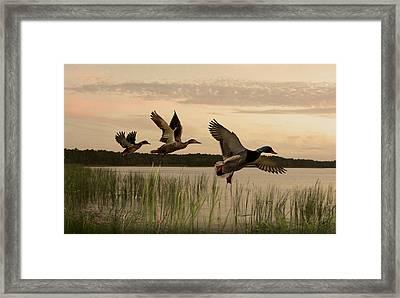 Lake Tarpon Ducks Framed Print by IM Spadecaller