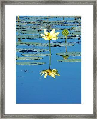 Lake Thomas Water Lily Framed Print by Chris Mercer