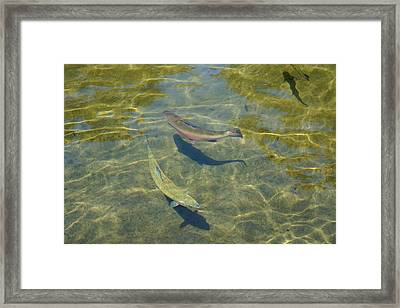 Lake Trout Art Prints Rainbow Trout Canvas Framed Print by Baslee Troutman