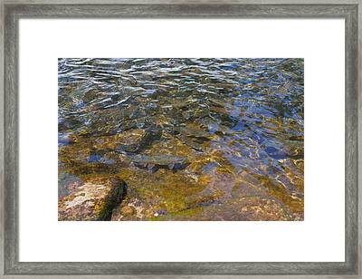 Lake Trout Art Prints Rainbow Trout Photography Framed Print by Baslee Troutman