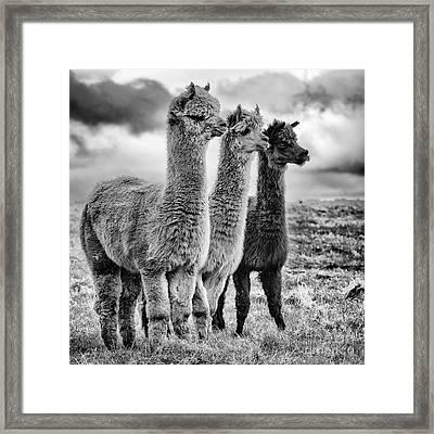 Lama Lineup Framed Print by John Farnan