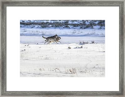 Lamar Canyon Wolves Framed Print