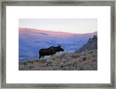 Lamar Valley Moose Framed Print
