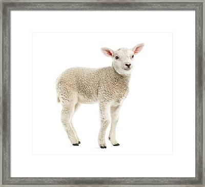 Lamb 8 Weeks Old Isolated On White Framed Print by Life On White