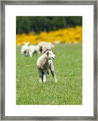Lamb Framed Print by Alexey Stiop