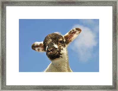 Lamb And Blue Sky Framed Print by John Daniels