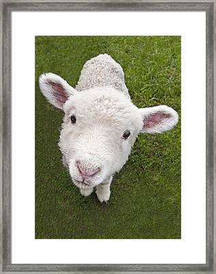 Framed Print featuring the photograph Lamb by Dennis Cox WorldViews