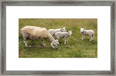 Lamm Triplets Framed Print by Iris Richardson