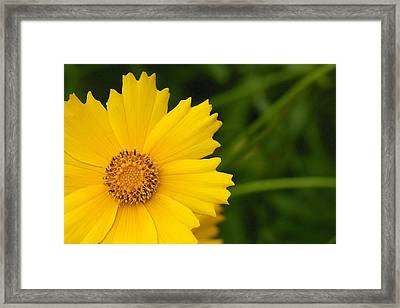 Framed Print featuring the photograph Lance-leaved Coreopsis - Coreopsis Lanceolata by Nature and Wildlife Photography