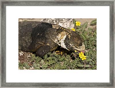 Land Iguana Eating Framed Print