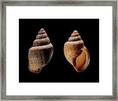 Land Snail Shells Framed Print