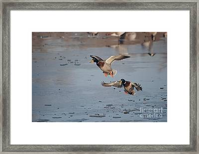 Framed Print featuring the photograph Landing Mallards by Mark McReynolds