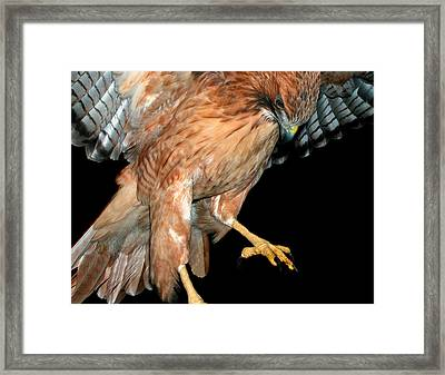 Landing Red Tail Framed Print