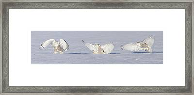 Landing Snowy Owl Framed Print by Mircea Costina Photography
