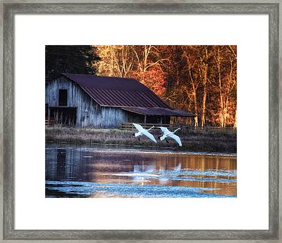 Landing Trumpeter Swans Boxley Mill Pond Framed Print