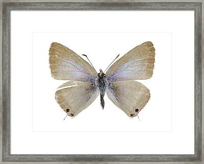 Lang's Short-tailed Blue Butterfly Framed Print by Science Photo Library