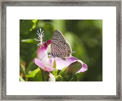 Framed Print featuring the photograph Lang's Short-tailed Blue II by Meir Ezrachi