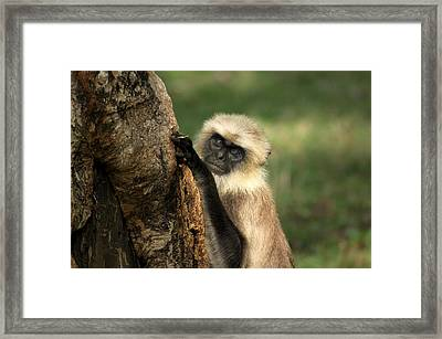Framed Print featuring the photograph Langur - Hanuman Langur by Ramabhadran Thirupattur