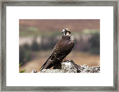 Lanner Falcon (falco Biarmicus) Framed Print by Photostock-israel