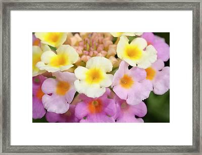 Lantana Camara Framed Print