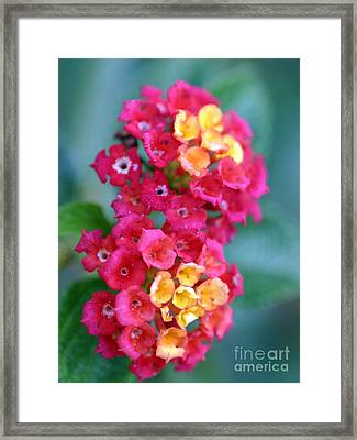 Framed Print featuring the photograph Lantana by Henrik Lehnerer