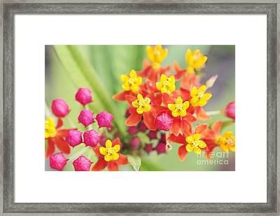 Lantana Stars Framed Print by Pamela Gail Torres